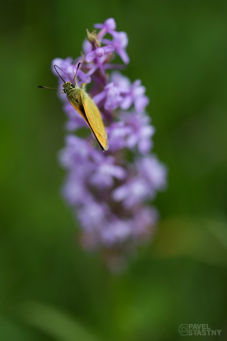 Orchidej s ohniváčkem